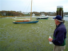 Jim Coyle looks over codium mat choking Wychmere Harbor October 2005