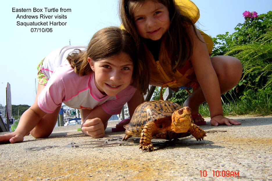 Box turtle at Saquatucket Harbor. Photo credit Tom Leach
